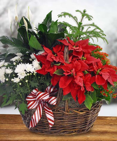 Poinsettia and Pine Holiday European Garden