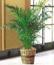 Areca Palm Green Plant