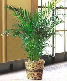 Areca Palm Green Plant
