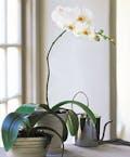 White Phaleanopsis Orchid Plant