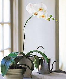 Phaleanopsis Orchid Plant