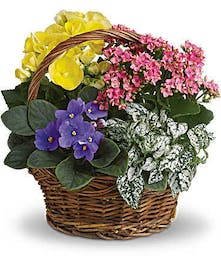 Potted plants - African violet, yellow begonia, hot pink kalanchoe