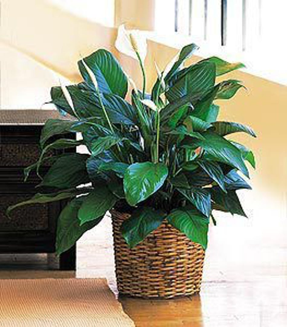 A peace lily medium plant in minneapolis mn schaaf floral peace lily green plant izmirmasajfo