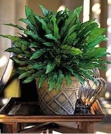 Sympathy Green Plant