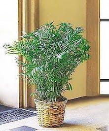 Parlor Palm Green Plant