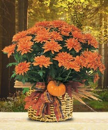 Seasonal Autumn Chrysanthemum Plant