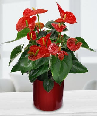 Potted Anthurium Lily