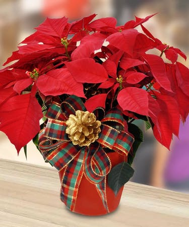 Poinsettia Plants In Minneapolis Mn Schaaf Floral
