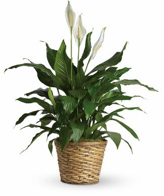 A Peace Lily Plant